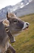 Cow in Austrian Alps — Stock Photo