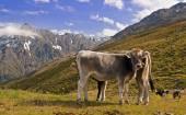 Cows in Austrian Alps — Stock Photo