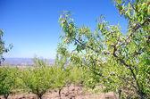 Almond trees on field — Zdjęcie stockowe