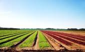 Arable land with young vegetables — Stock Photo