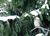 Smuteční Dove na sněhu krytá borovice — Stock fotografie