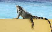 Ocean view Iguana — Stock Photo