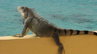 Sun bathing Iguana — Stock Video