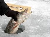 Snoek gevangen ijsvissen — Stockfoto