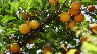 Ripe oranges on tree — Stock Video