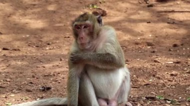 Rhesus macaque sits on ground — Stock Video