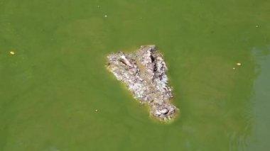 Crocodile in green water — Stock Video