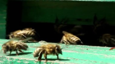 Bees near a beehive — Stock Video