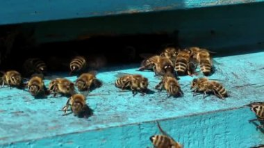 Bees near beehive — Stock video