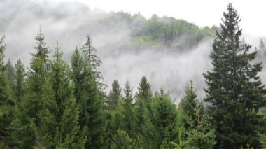 Mist among coniferous trees — 图库视频影像