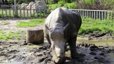 Rhinoceros in zoological garden — Stock Video