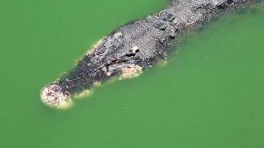 Big crocodile in water — Stock Video