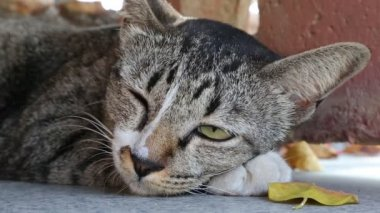 灰猫半睡半醒 — 图库视频影像