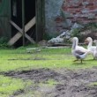 Flock of the gooses — Stock Video #58303453