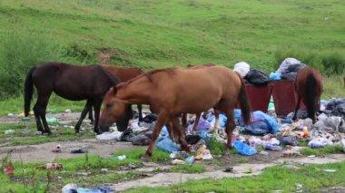 Horses eating garbage at dump — Стоковое видео