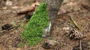 Green moss on tree — Stock Video