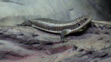 Gerrhosaurus - plated lizard in vivarium for reptiles — Stock Video