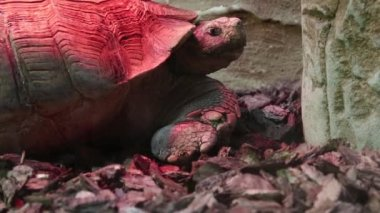 Turtle in zoological garden — Stock Video
