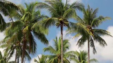 Coconut palms on Koh Chang island — Stock Video