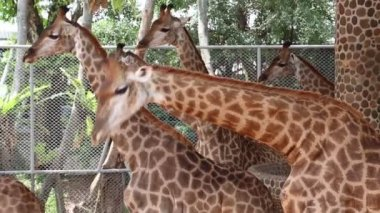 Giraffes in zoological garden — Stock Video
