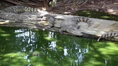 Crocodiles are near the water — Stock Video