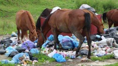 Horses eating garbage at dump — Stock Video