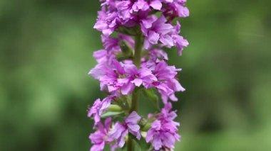 Lythrum salicaria — Stock Video
