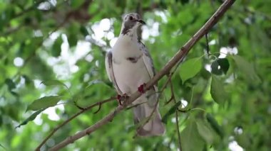 White pigeon sitting on tree branch — Stock Video