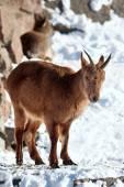 Mountain goat on the rocks — Stock Photo