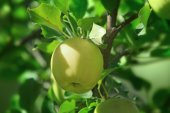 Ripening apple on branch — Stock Photo