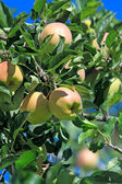 Ripening apples on branch — Stock Photo