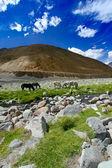 Horses near river in Himalaya — Stock Photo