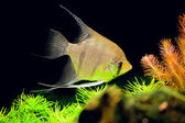 Aquarian small fish - Pterophyllum scalare — Stock Photo