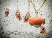 Hanging Gourd — Stockfoto