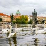 Swans and ducks near Charles Bridge in Prague — Stock Photo #58567621