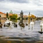 Swans and ducks near Charles Bridge in Prague — Stock Photo #58567657
