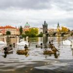 Swans and ducks near Charles Bridge in Prague — Stock Photo #58567669
