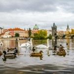 Swans and ducks near Charles Bridge in Prague — Stock Photo #58567679