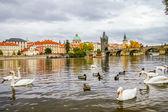 Swans and ducks near Charles Bridge in Prague — Stock Photo