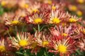 Chrysanthemum — Φωτογραφία Αρχείου