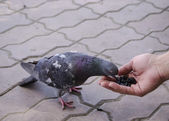 Pigeon eats with his hands — Stock Photo