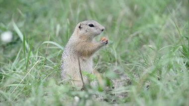 Gopher eating piece of carrot — Stock Video