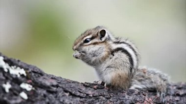 Cute Siberian chipmunk — Stock Video