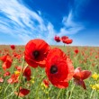 Poppy flowers field — Stock Photo #53291715