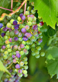 young unripe grapes — Stock Photo