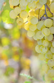 Yellow grapes — Stock Photo