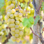Sweet and tasty white grape  — Stock Photo