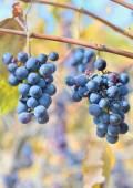 红酒葡萄串 — 图库照片