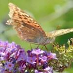 Agraulis vanillae butterfly — Stock Photo #54942299
