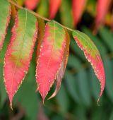 Ripe mountain ash leaves   — Stock Photo
